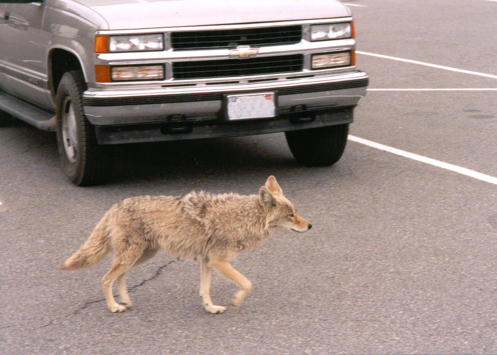 A new mobile survey will help people report encounters with urban coyotes in Southern California -- and see what's happening in their neighborhood.
