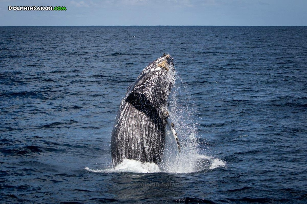 Humpback whale photographed by Craig DeWitt. Courtesy of Captain Dave's Dolphin and Whale Safari