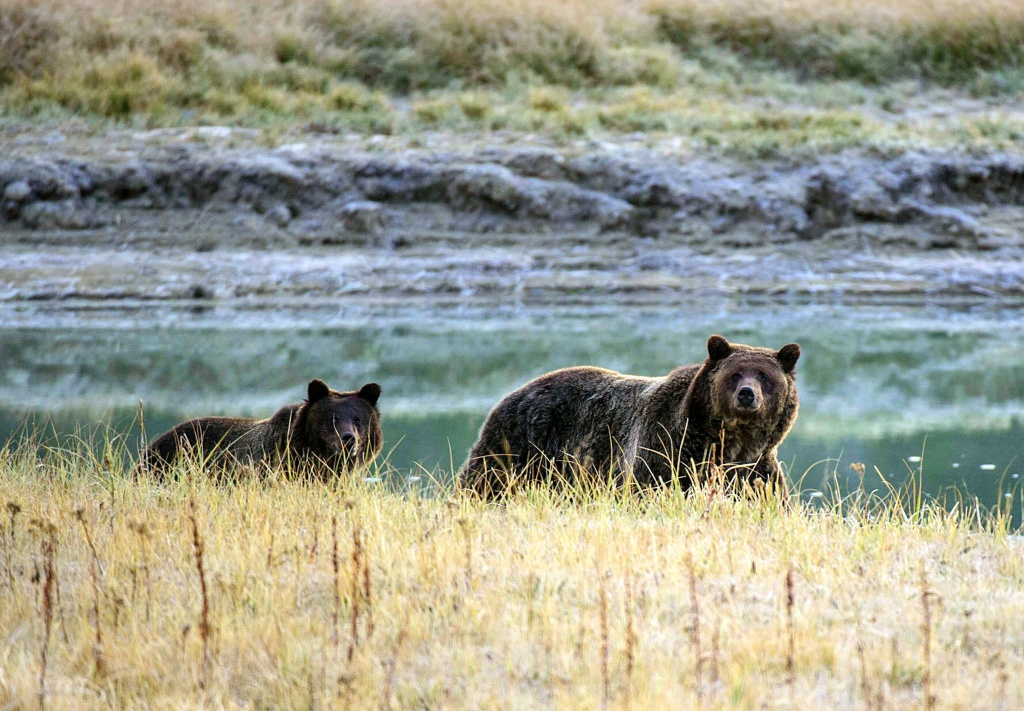 A Grizzly bear mother and her cub walk near Pelican Creek October 8, 2012 in the Yellowstone National Park in Wyoming.