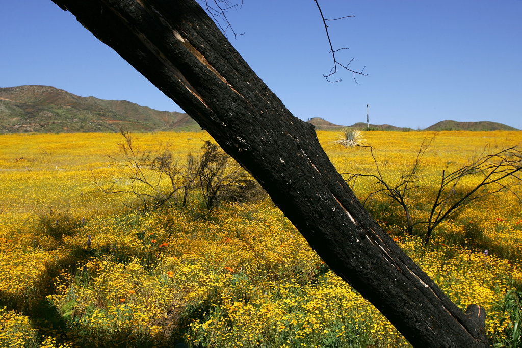 Wildflowers surround burnt trees near Interstate 15 in Fallbrook, California, in a landscape that burned in the 2007 Rice Fire when wildfires of historic size and intensity swept across Southern California.