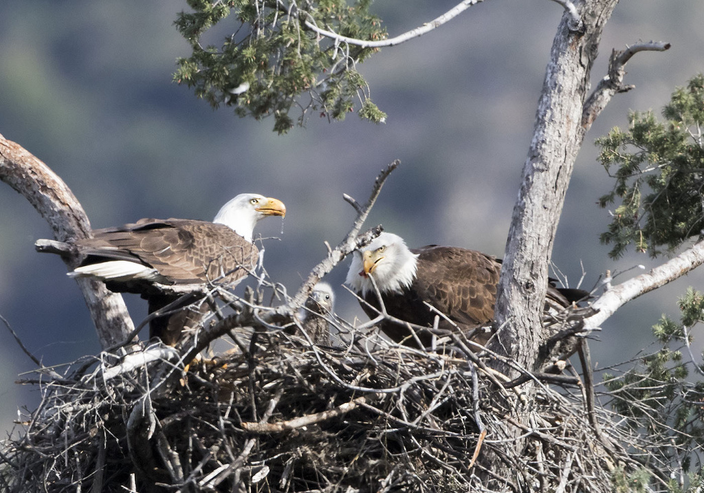 Family of American bald eagles, Angeles National Forest