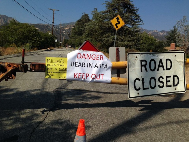 A California black bear roams in Three Rivers, Calif.