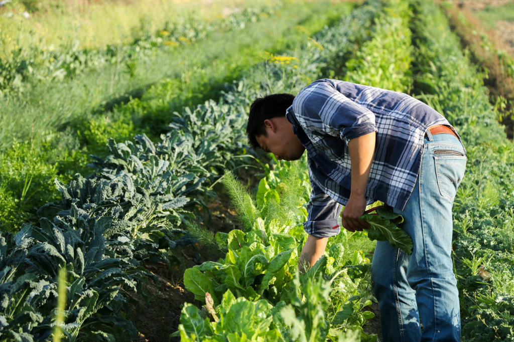A farmer checks on produce at Padao Farms, a 15-acre plot run by the Yang family in Fresno, Calif., that specializes in Asian greens.