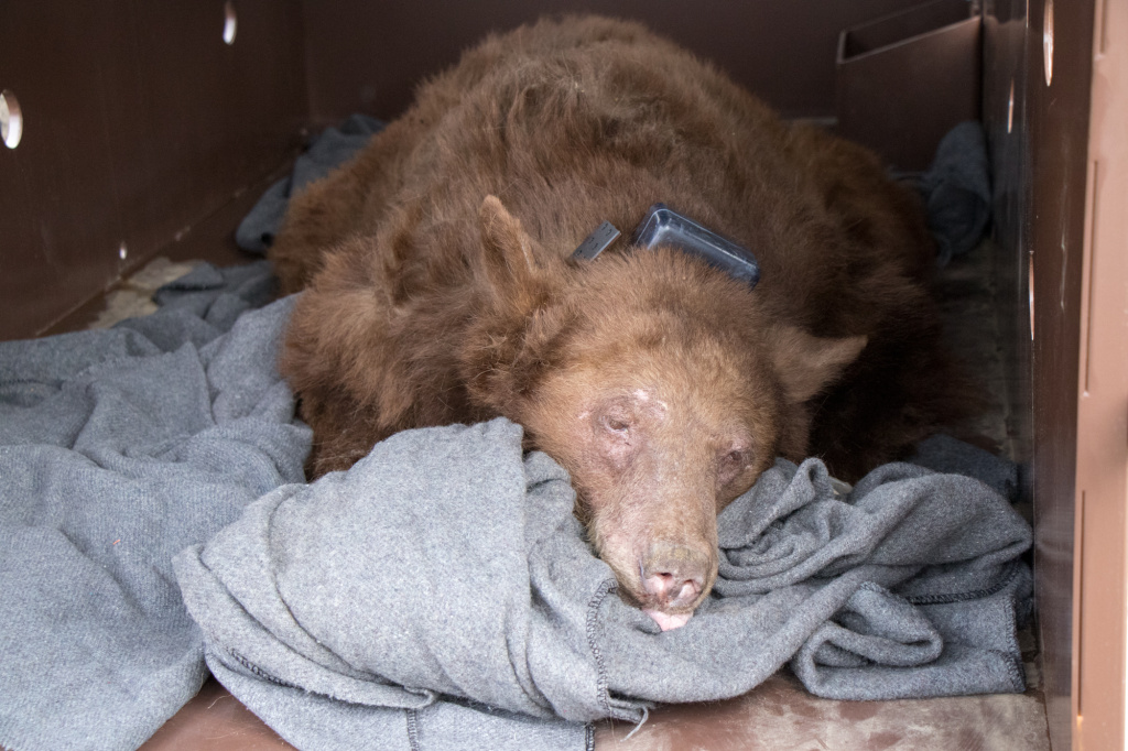 Still sedated, the second bear is loaded into a trailer for the long journey back to Southern California.
