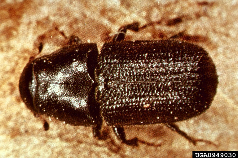 USDA Forest Service image of a Mountain Pine Beetle.
