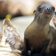 US-NATURE-SEA LIONS