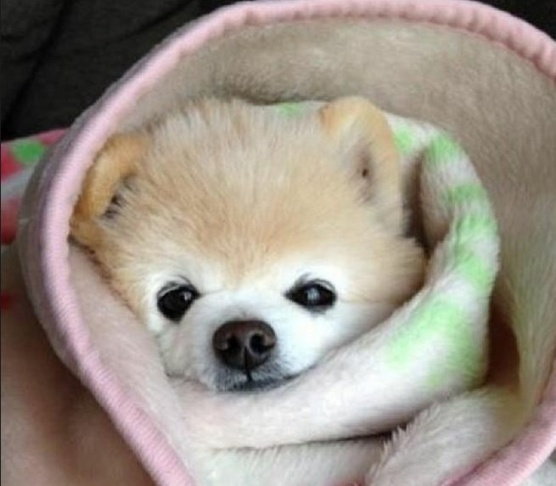 dog blanket burrito