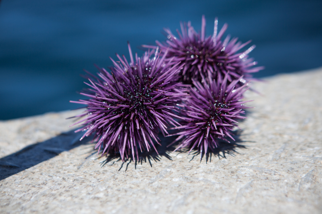 A USC team grew sea urchins in a lab, exposed them to an increasingly acidic ocean, and monitored their metabolisms. They found that urchins can work more than twice as hard to maintain basic life functions and growth in a changing environment.