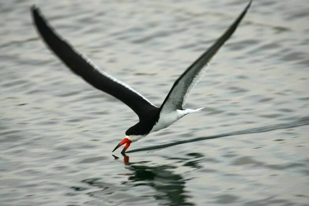 File: A black skimmer uses its unique fishing technique in the Los Cerritos Wetlands as land developers and wildlife conservationists compete for the vanishing wetland on July 31, 2007 near Long Beach.