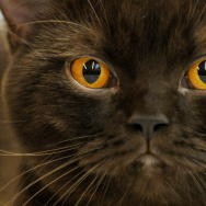 A Burmese cat is presented on July 25, 2