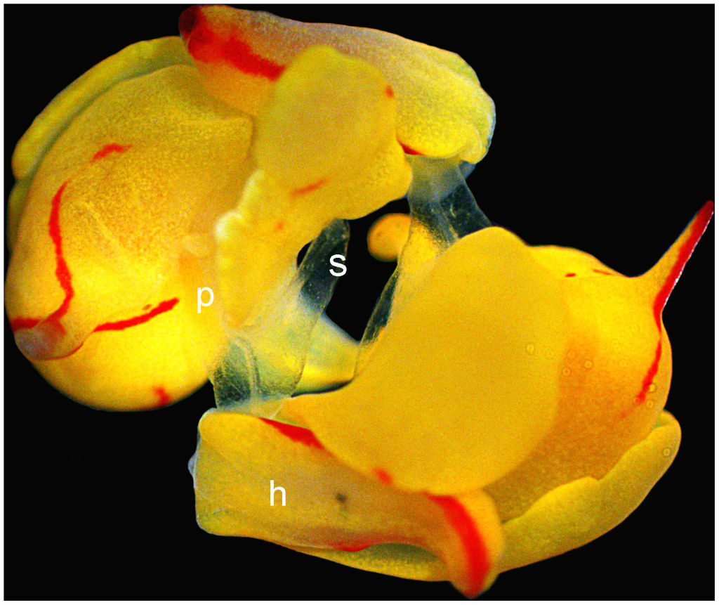 Reciprocal copulation of Siphopteron quadrispinosum (sea slug). The bipartite penises, which are everted as largely translucent structures at the right front of the head (h), are reciprocally inserted into the partner. While the actual penis (p) is inserted into the gonopore (located behind the right parapod), the penile stylets (s) are hypodermically inserted into the foot of the partner. Markings are only shown for the lower animal.