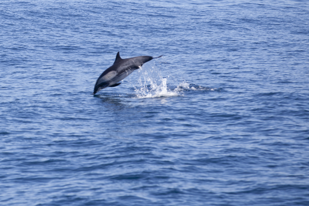 A dolphin jumps out of the water off of the coast of Long Beach. Dolphins are commonly seen in this area, but warmer temperatures are drawing marine life farther north that usually live south of California.