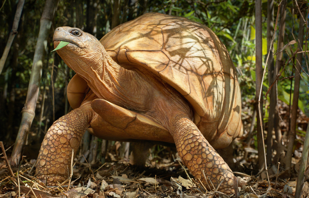 The ploughshare tortoise of Madagascar is down to perhaps 100 adults in the wild. Poachers sell the tortoises as pets for up to $4,000 apiece on the black market.