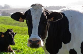 About 200 cows graze on the Point Reyes Farmstead Cheese Company's 700-acre farm in northern California.