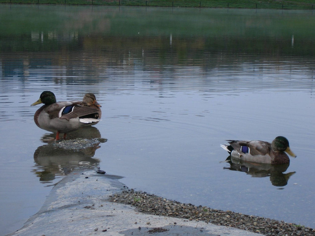 Some ducks hanging out near the inlet of a detention pond.