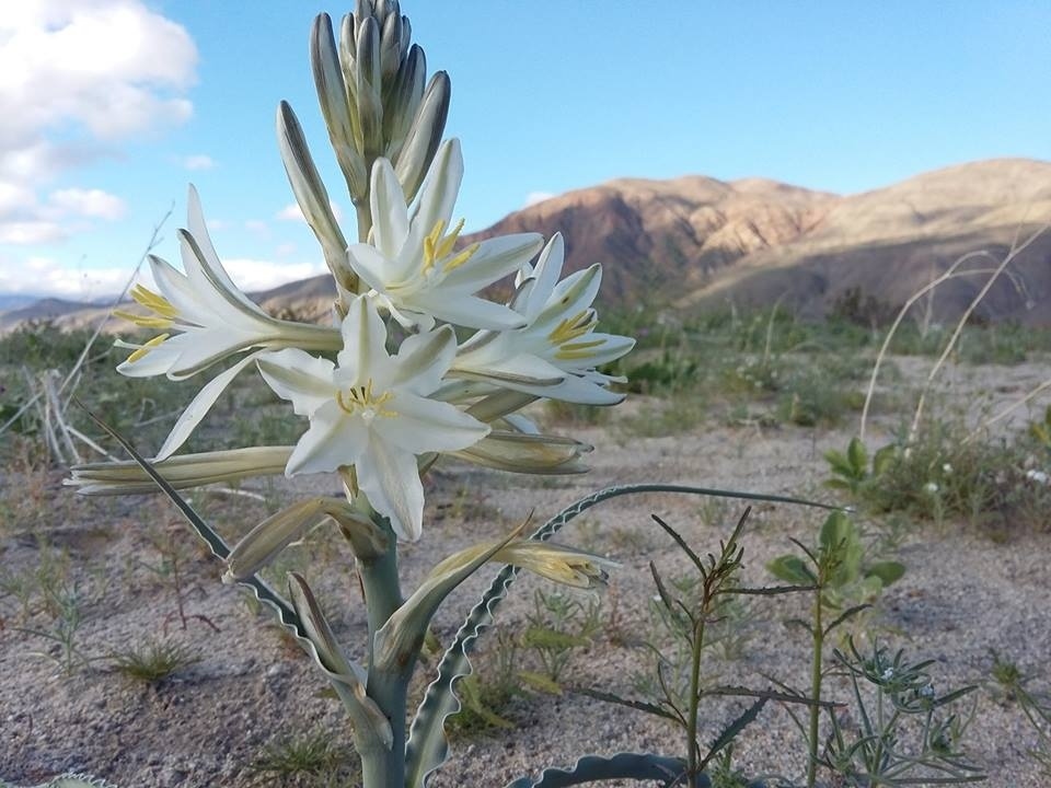 A desert Lily in bloom at Anzo-Borrego Desert State Park.