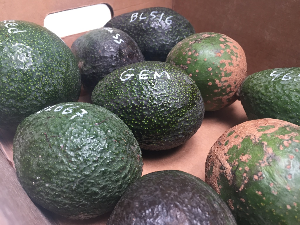 A box full of different avocado varieties grown at UCR. Among them, the Gem, which subtropical horticulturist Mary Lu Arpaia predicts will overtake the Hass.