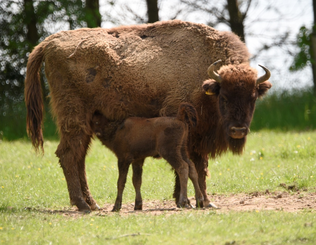 A newborn European bison (also known as a buffalo) is pictured with its mother at the Animal Park of Sainte-Croix in Rhodes, France on May 25, 2016.