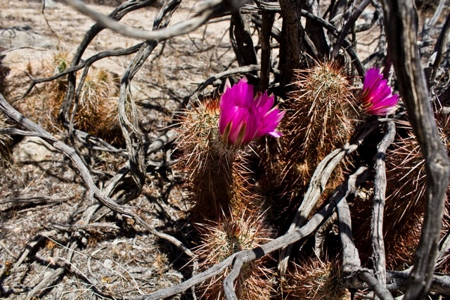 Flowers in bloom at Joshua Tree National Park. Photo submitted by user Nillie De Grakovac.