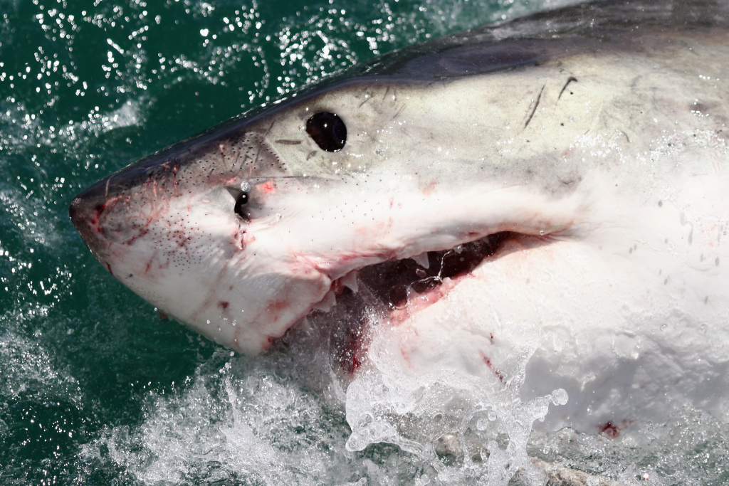 GANSBAAI, SOUTH AFRICA - OCTOBER 19:  A Great White Shark is attracted by a lure on the 'Shark Lady Adventure Tour' on October 19, 2009 in Gansbaai, South Africa.