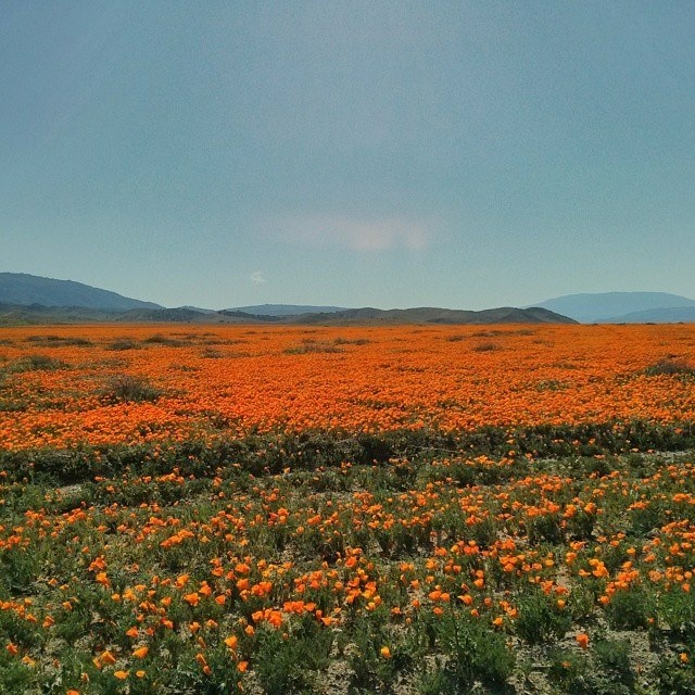 Why is the california poppy the state flower qa 893 kpcc poppies in lancaster mightylinksfo