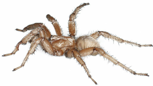 Aptostichus bonoi, a newly-discovered spider species form the California desert at Joshua Tree, named for U2 front man Bono in honor of the band's