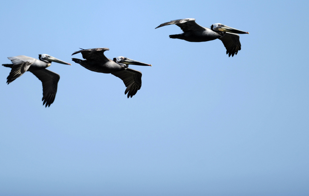 Pelicans fly above the waters of Laguna Beach in Malibu, California, in this April 3, 2009 file photo. In the past week, there's been a surge in sick pelicans along the Southern California coast.