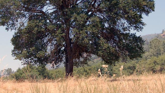 A large blue oak tree in Mariposa County, CA.