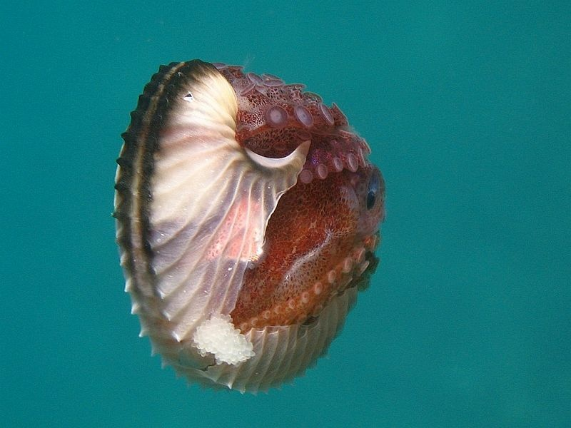 A female Argonaut with eggs.