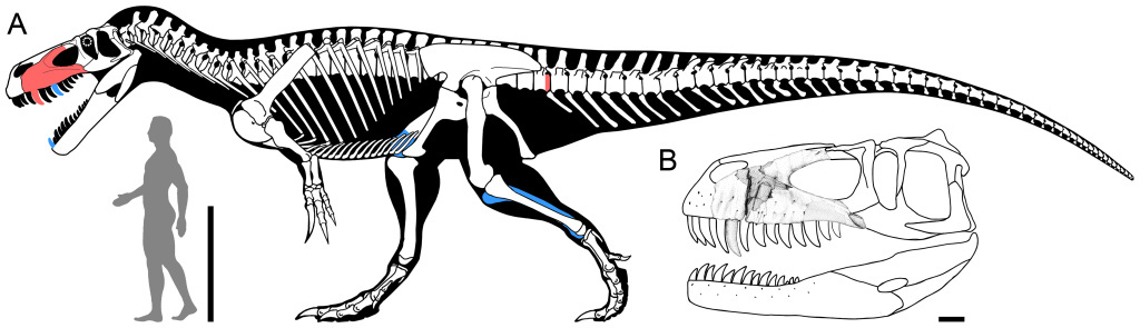 Reconstruction of Torvosaurus gurneyi in lateral view.