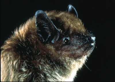 Closeup of a big brown bat face.