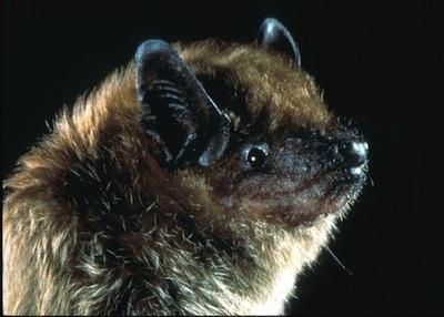 Closeup of a big brown bat face.