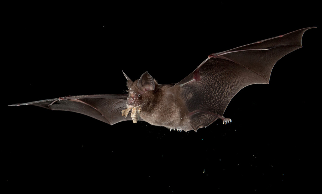 A Chinese horseshoe bat chases a moth.