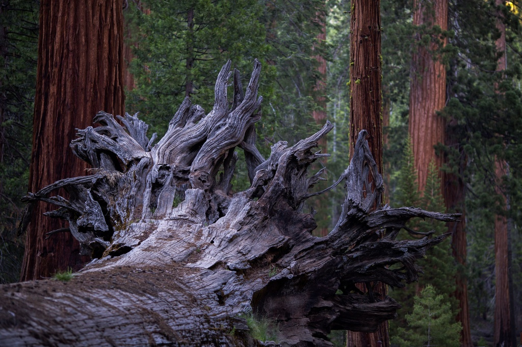The Fallen Monarch sequoia tree is seen in the Mariposa Grove of Giant Sequoias on May 20, 2018 in Yosemite National Park, California which recently reopened after a three-year renovation project to better protect the trees that can live more than 3,000 years.