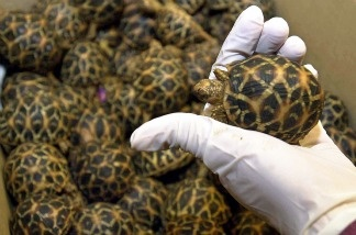 An officer from Singapore's Immigration and Custom Authority (ICA) holds one of many star tortoise which were found in the hand luggage of an Indian national at Singapore's Changi Airport, 15 September 2003.