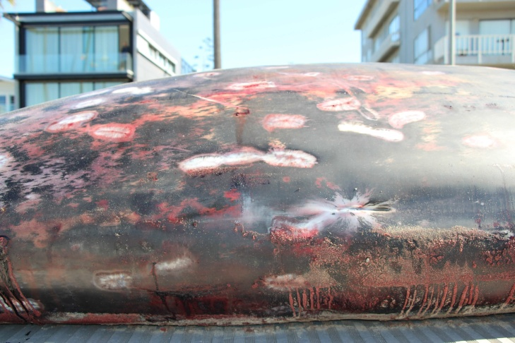 A Stejneger's beaked whale. The whale washed up in Venice Beach Tuesday, Oct. 15, 2013.