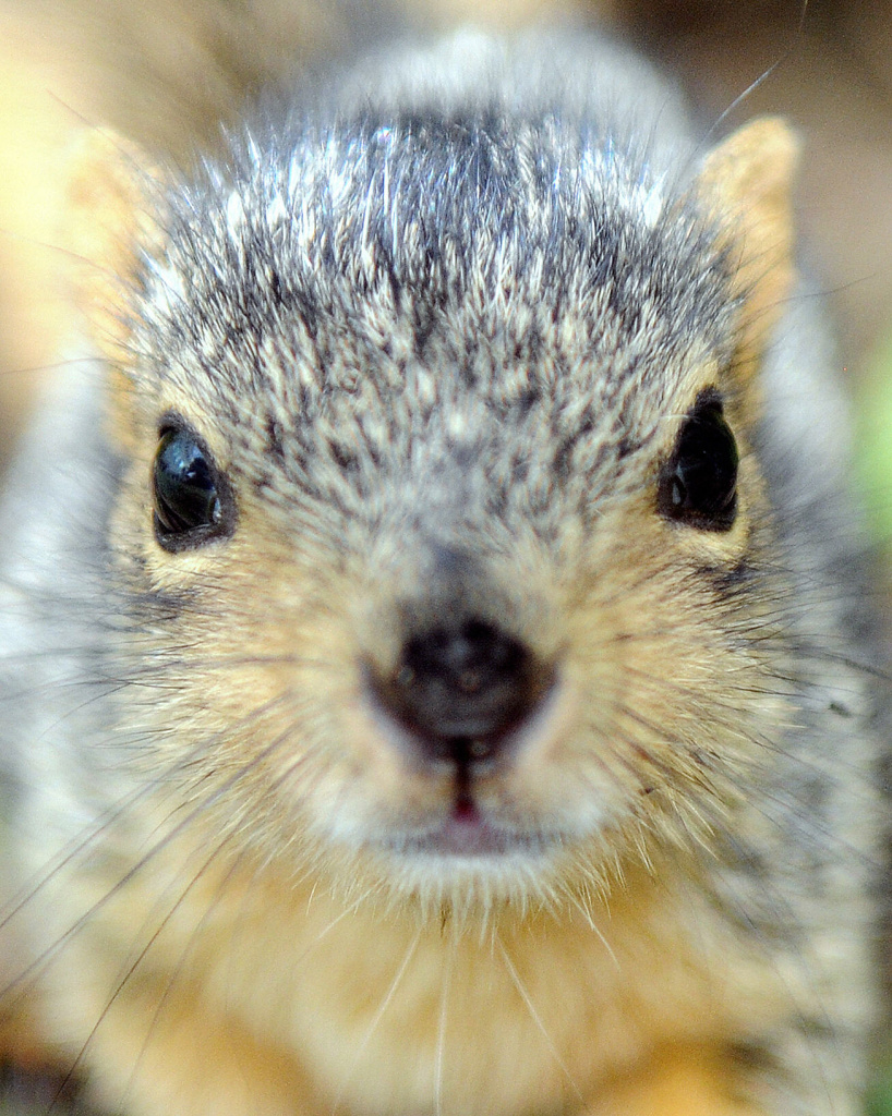 A baby squirrel is seen in Los Angeles, California on September 7, 2009. Recently, a plague-infected squirrel has prompted the closure of three campgrounds in the Angeles National Forest.