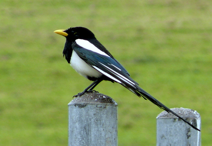 A yellow-billed magpie is found only in California. The species is one of many considered to be threatened by the effects of climate change, according to a new report.