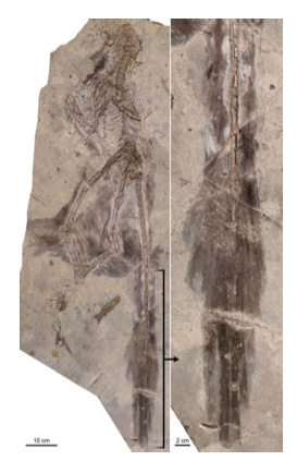 Changyuraptor with (right) details of plumage. Photo by Luis Chiappe, Dinosaur Institute, NHM.