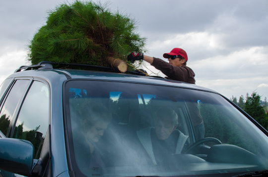 Customers that visit Peltzer Pines can pick among the four and five-year-old Christmas trees in Brea, Calif., Wednesday, Dec. 12, 2012.