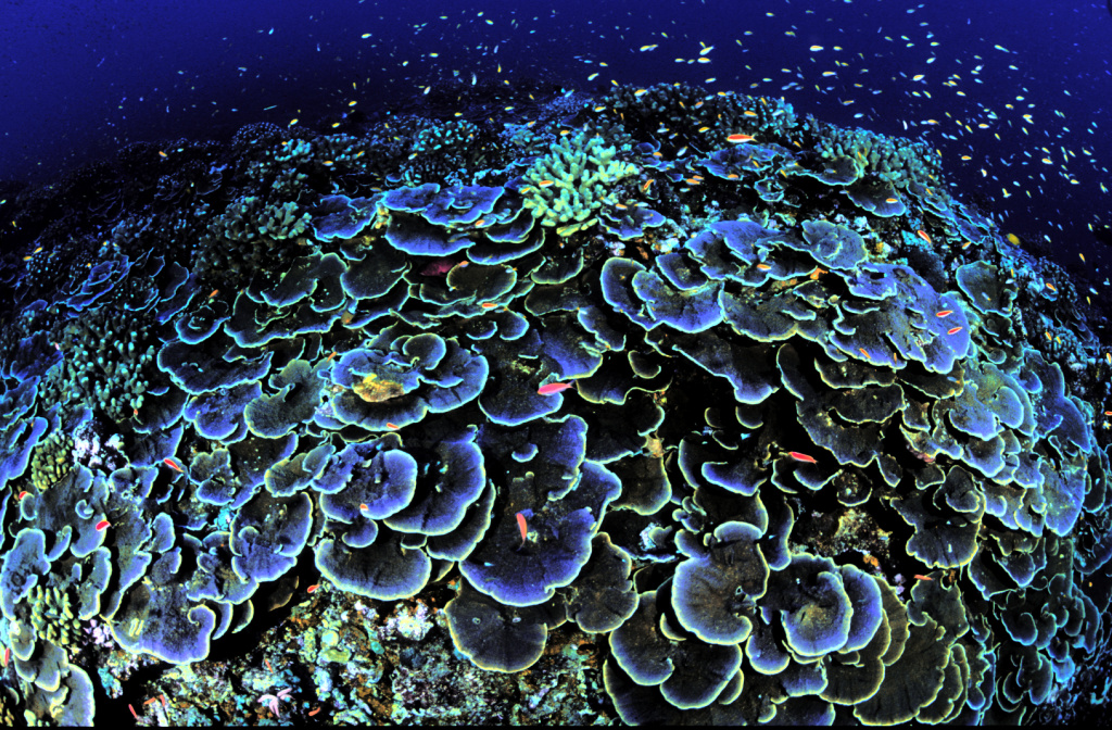 In this photo released by U.S. Fish and Wildlife Service, coral is seen off Jarvis Island, one of seven islands strung along the equator in the central Pacific Ocean, in this photo, date unknown. It's part of the remote and uninhabited Pacific island chains first set aside by President George W. Bush as national monuments to protect them from oil and gas extraction and commercial fishing in what will be the largest marine conservation effort in history.