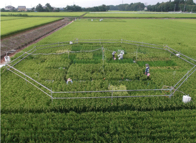 Rice within the octagon in this field is part of an experiment to grow rice under different levels of carbon dioxide.
