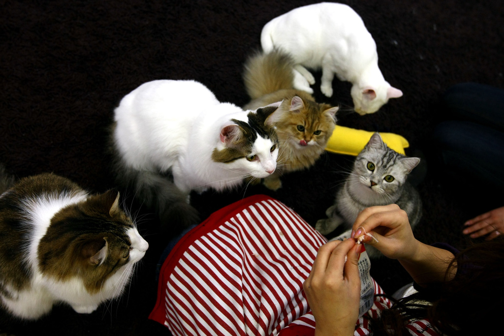 A woman feeds cats at Nekorobi cat cafe on January 20, 2009 in Tokyo, Japan. An entrepreneur wants to launch a cat cafe to L.A.