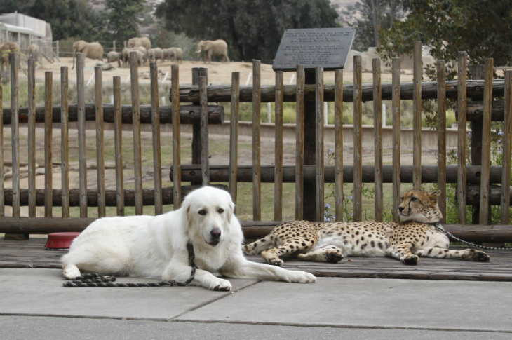 In this Nov. 29, 2012 photo, Shiley, a male cheetah 3-and-a-half-years-old, and Yeti, a female Anatolian shepherd who serves as Shiley's partner, take a break outside the elephant enclosure during a walk through Safari Park, in Escondido, Calif. Although the dogs and cats live together, they are not always with one another. Dogs have play dates with other dogs and humans, and they eat separately from the cheetahs.