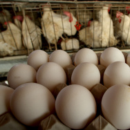 Freshly-laid eggs are collected for delivery to a local packing plant.