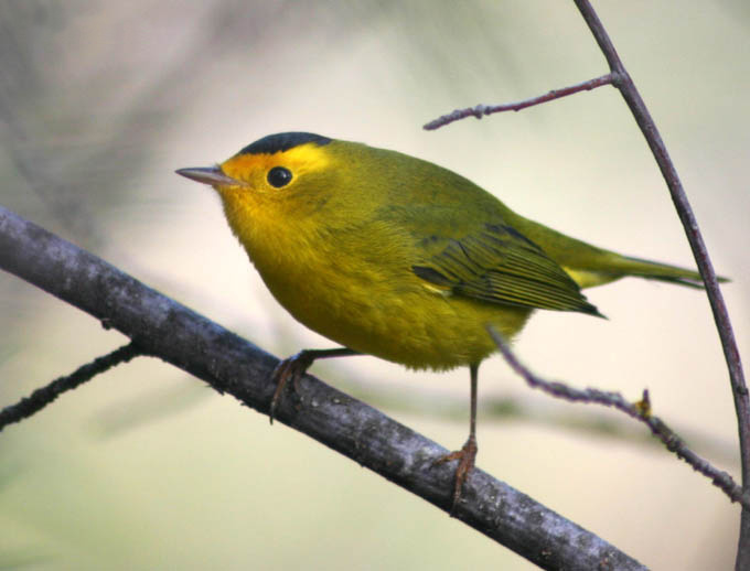 An image of a Wilson's Warbler. A new project from UCLA aims to use genetic information to help map the migration patterns of birds such as the Warbler so conservationists can do more to protect threatened species.