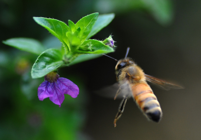 A honeybee hovers over a flower