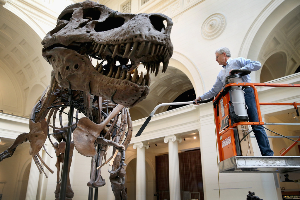 Geologist Bill Simpson cleans Sue, a 67-million-year-old Tyrannosaurus Rex on display at the Field Museum on November 12, 2013 in Chicago, Illinois. Sue is the largest, most complete, and best preserved T. Rex ever discovered. Simpson carefully cleans the skeleton twice a year.