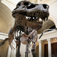 "Chicago's Field Museum Cleans Its Preserved T. Rex ""Sue"""