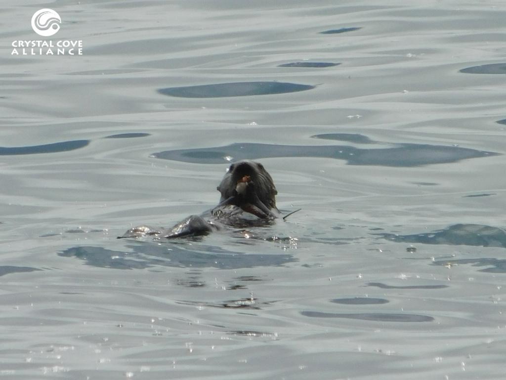 A sea otter nicknamed